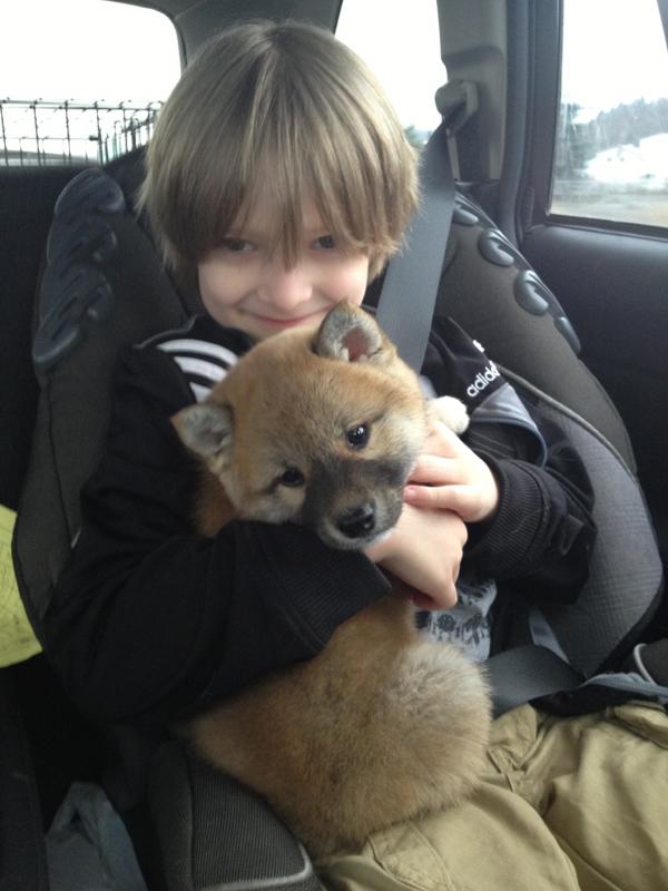 red Shiba Inu puppy